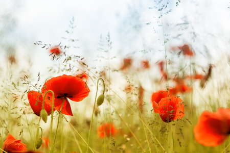 early summer: Early summer - poppies in high grass