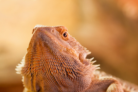 penetrating: Portrait of a Bearded Dragon - The penetrating look of a reptile