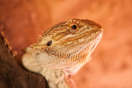 bearded dragon lizard: Portrait of a Bearded Dragon - The penetrating look of a reptile