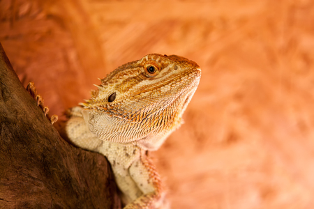 Portrait of a Bearded Dragon - The penetrating look of a reptile