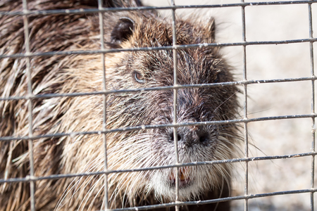 furs: Nutria behind bars - Waiting for death Stock Photo
