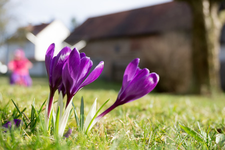 Purple crocuses in the morning sun - Sign of spring