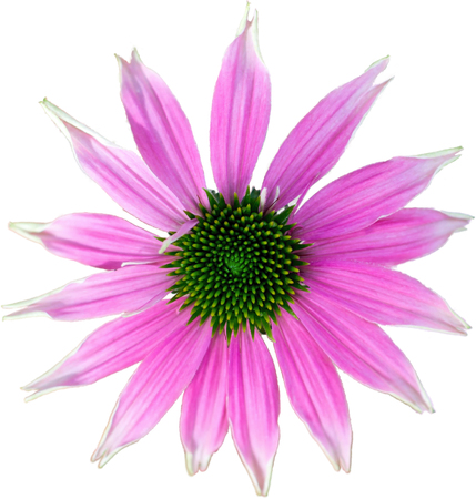 echinacea: Pink coneflower - The flower of summer on white background