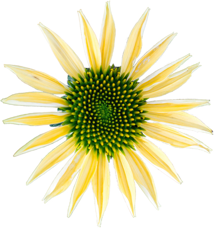 Yellow coneflower - The flower of summer on white background Stock Photo