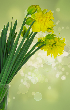 floridity: Blooming daffodils