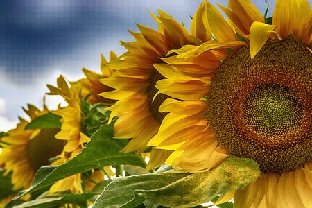 A field of sunflowers and a cloudy sky above it Stok Fotoğraf