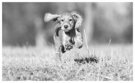 Koker spaniel Jumping with four legs in the air, black and white photo