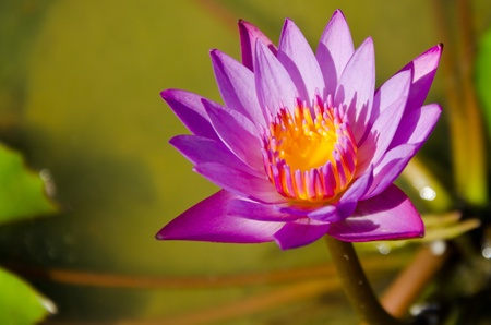 pink lotus blossom in the garden