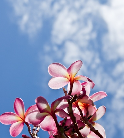 The Frangipani flower with blue sky Stock Photo