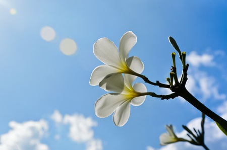 Frangipani flowers and blue sky