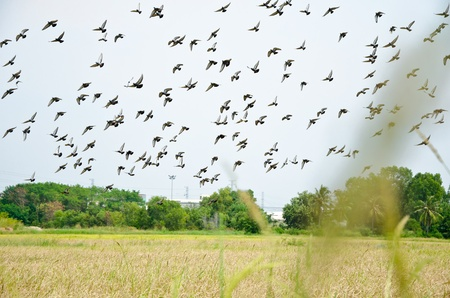 Flock of bird fly over rice field