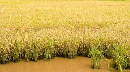 Golden rice field photo