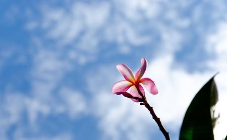 The Frangipani flower with blue sky Stock Photo