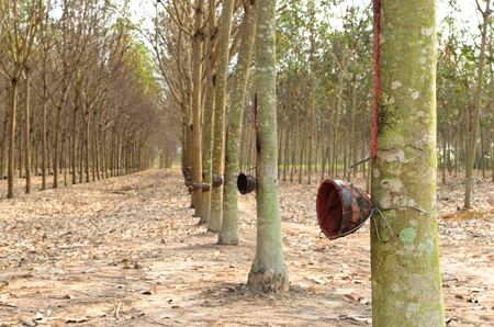 Rubber trees with the  empty cups