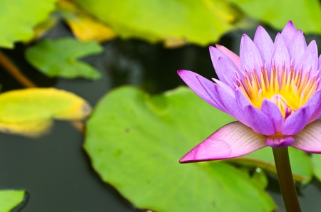 pink lotus blossom in the marsh Stock Photo