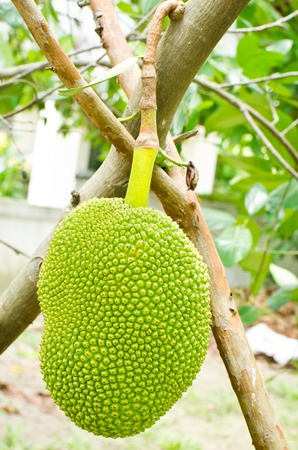 Jackfruit hanging on the tree photo