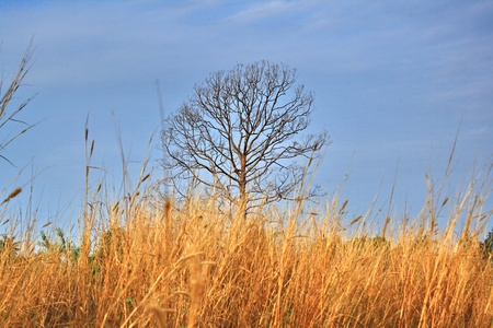 Lonely dead tree with yellow grass photo
