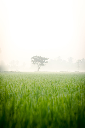 alone tree among mist in rice fields Stock Photo