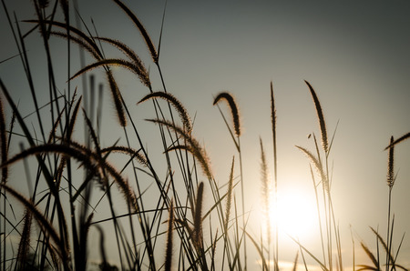 cane plumes: Brown Grass Plumes At Sunrise