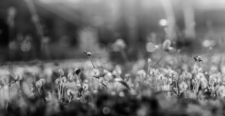 grass flower black and white with bokeh