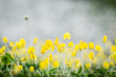 beautyful pinto yellow flower