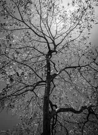 arboles blanco y negro: negro abstracta y árbol blanco