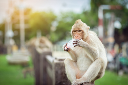 monkey eating some sweet drink from plastic bag in Lopbur Thailand