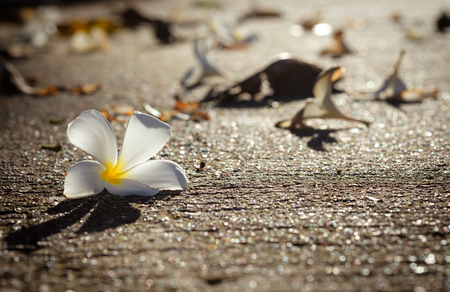 Plumeria White fell on the road with warm morning light  backgroud Stock Photo