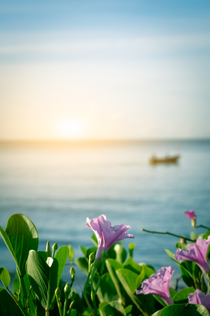 pes caprae: pink flower(ipomoea pes-caprae) in morning time  with blur fisherman and fishing boat  background