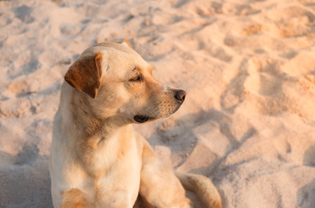 Portrait of brown dog at a beach on relax day with light of sunrise