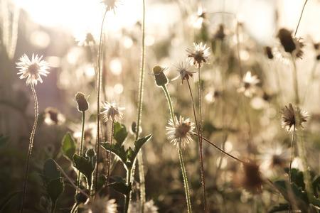 flower grass  with sunrise background,plants dandelions Stock Photo
