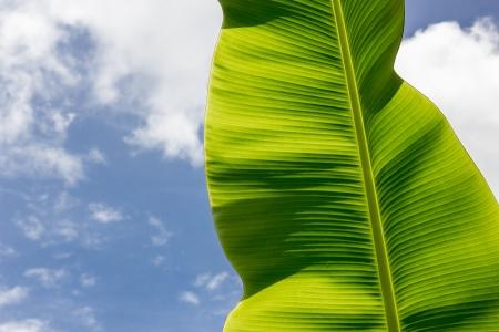 banana leaf: The banana leaf