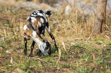 livelihood: the little goat with dry grass