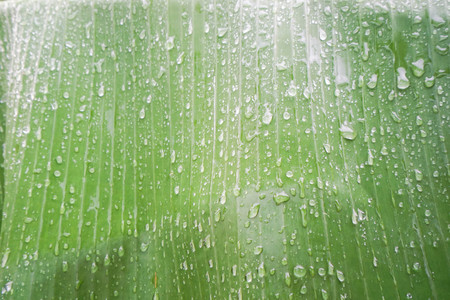humid: rain drops on light green banana leaf Stock Photo