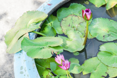 bee on flower: blooming purple lotus with small bee in pond at home garden Stock Photo