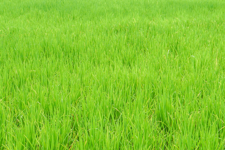 close up green rice field for agriculture Stock Photo