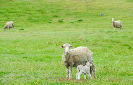 tiny lamb suck up milk from white sheep in green field in New Zealand