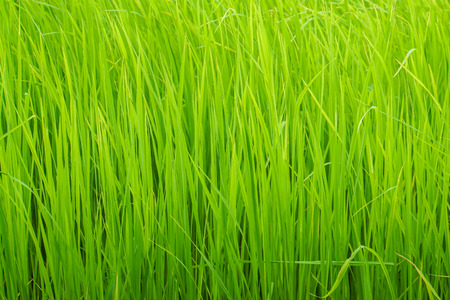 close up light green rice grow in paddy farm in rainy season for harvest