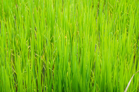 close up green rice grow in paddy farm in rainy season