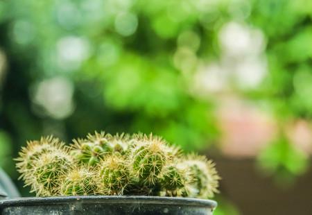 selective focus close up green cactus  in plastic pot