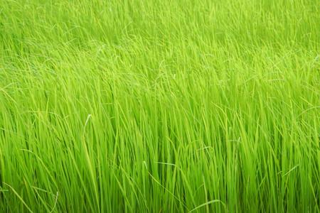 close up green rice field grow in paddy farm in rainy season Фото со стока