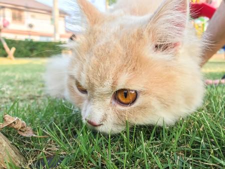 close up cute funny orange Persian cat on green lawn at backyard Фото со стока