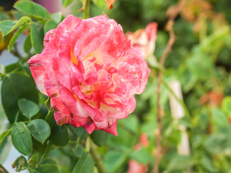 blooming beautiful pink red rose plant in the farm Фото со стока