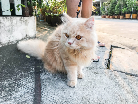cute funny orange Persian cat on concrete road for walking with owner