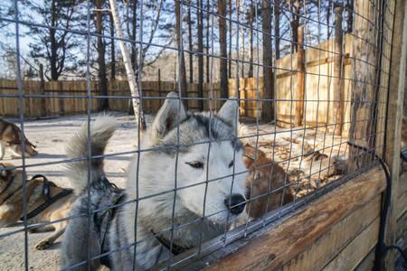 cute Siberian Husky dog in cage farm in winter
