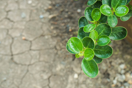 green ivy climber plants grow in dry and crack soil in summer