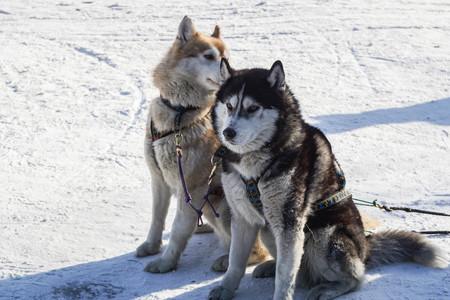 two cute Siberian Husky dogs sit in dog sledge farm in winter
