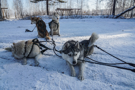 Siberian Husky dogs to pull sled over snow and ice