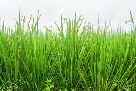 isolated close up green rice grow in paddy farm in tropical country