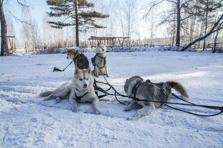 cute young Siberian husky dogs for sledge in Irkutsk, Russia